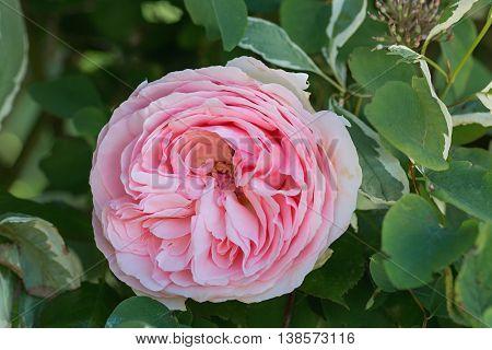 Filled Rose Blossom