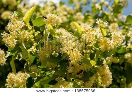 Fragrant flowers of linden tree blossom in the sunlight