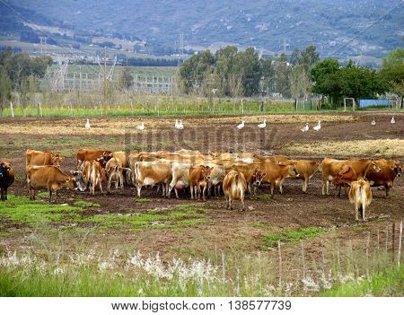 Farm, Cows Ready To Be Milked, Paarl, Cape Town South Africa 09