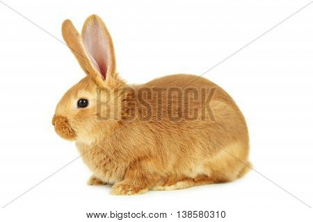 Young red rabbit isolated on a white