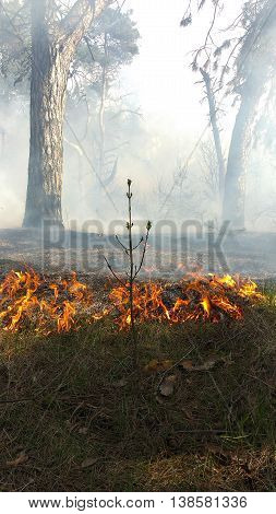 Coniferous forest in fire. Start a forest fire
