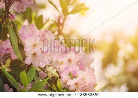 Flowering of fresh tender Rhododendron maximum pink flowers with green leaves at spring time. Natural sunny floral seasonal holiday background with copy space.