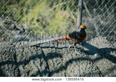 Close up of a colorful pheasant on the ground