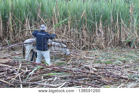 Magdalena Cajamarca Peru - July 13 2016: Man loads cut sugar cane onto small white donkey in Magdalena Cajamarca Peru on July 13 2016.