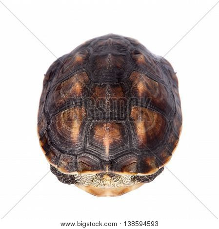 The Chinese stripe-necked turtle, Ocadia sinensis, or golden thread turtle isolated on white background