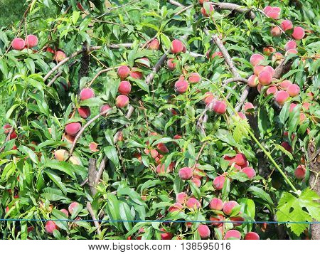 Ripening on branches of peach on a branch