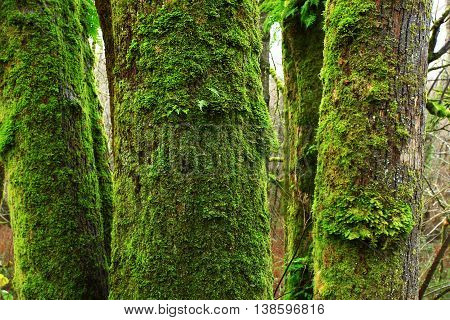 a picture of an exterior Pacific Northwest forest of mossy old growth Vine maple trees
