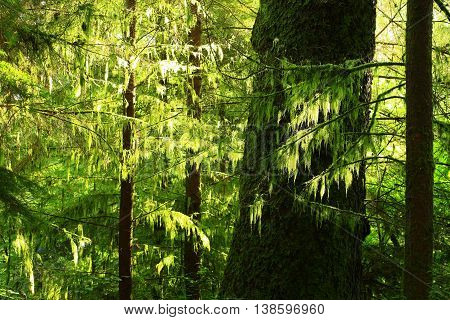 a picture of an exterior Pacific Northwest forest with mossy conifer trees