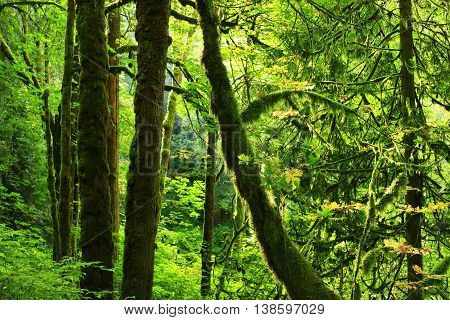 a picture of an exterior Pacific Northwest forest with Vine maple trees in summer