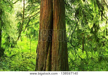 a picture of an exterior Pacific Northwest forest with a Western red cedar tree.