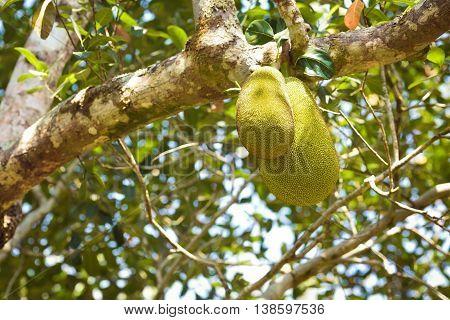 fresh big Jackfruit growing on a tree