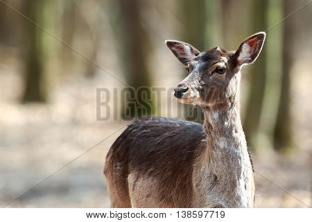 Portrait of a female deer in the forest