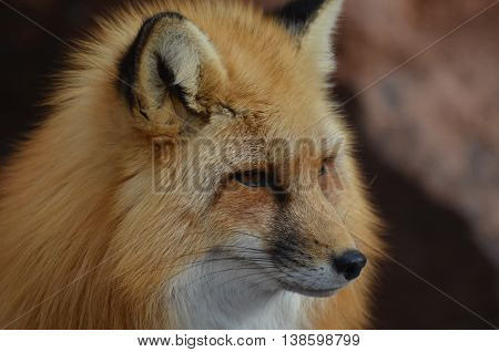 Beautiful long nose of a red fox.