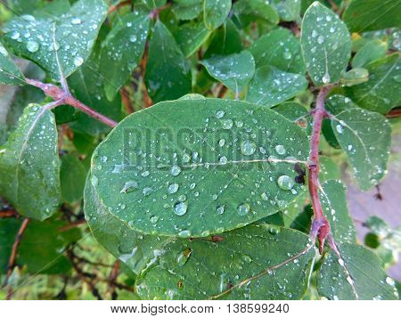 water drops on the leaf of honeysuckle after rain