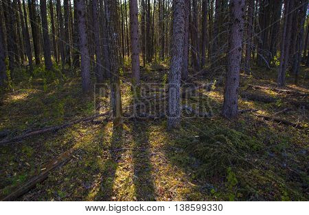 Slivers of sunlight sneaking into a forest in Saskatchewan Canada