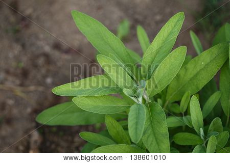 Sage - Salvia Officinalis. Herbs In The Garden