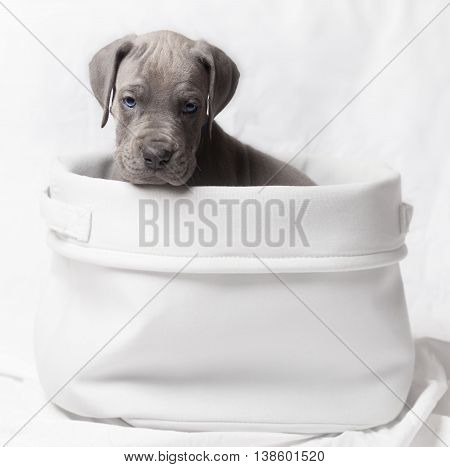 Gray colored purebred Great Dane giving an ugly look from a basket