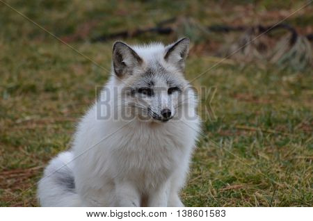 Gorgeous white face of a swift fox in nature.