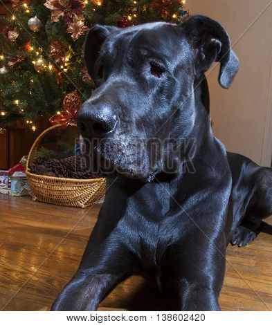 Purebred black Great Dane laying in front of the Christmas tree