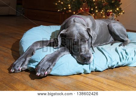 Purebred grey Great Dane that looks tired of waiting for Santa Claus