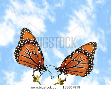 Two Monarch butterflies outside