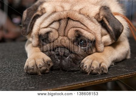 Old sad pug dog lying on the table