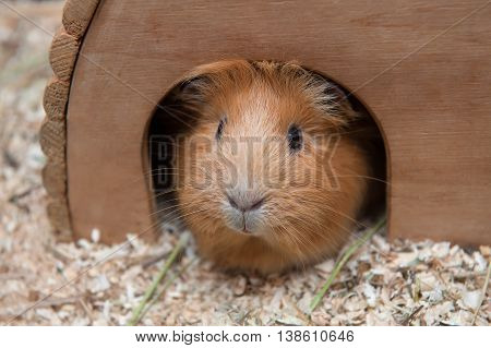 Portrait of red guinea pig in her wooden house.