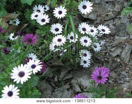Margarita del Cabo. Osteospermum. Vivos y bonitos colores. Florece en primavera y ocasionalmente en otoño.