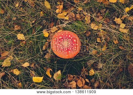 red Toadstool fly agaric mushroom in forest -