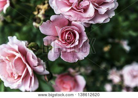 Beautiful pink rose flower outdoor close up