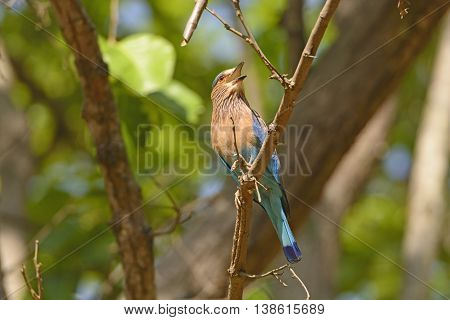 Indian Roller in a tree in Kanha National Park in India