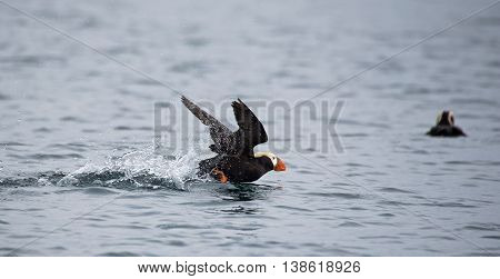 Tufted Puffin begins to take off on the water