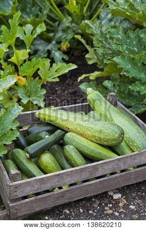 Home Grown Zucchini