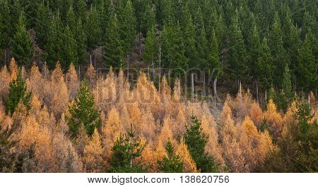 Trees in the forest in autumn. New Zealand forestry