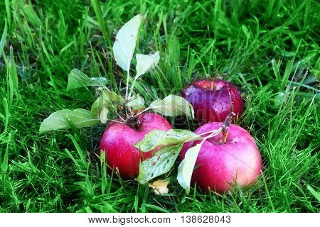 beautiful ripe apples are on the green grass