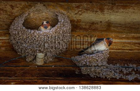 Swallows In Their Nests