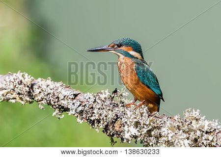 Common Kingfisher Alcedo Atthis