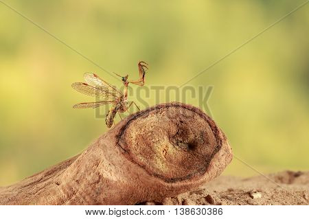 closeup mantispa hunts on driftwood in desert