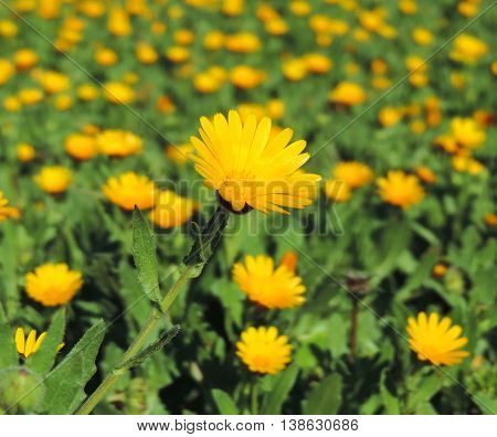 Marguerites or yellow flowers in the sun. Wildflowers with copy space and selective focus on the foreground.