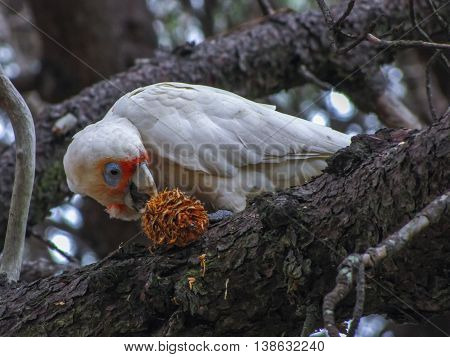Long-billed corella cockatoo eating a pine cone on a tree
