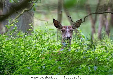 Red deer hidden in the forest in the wild