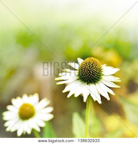 Marguerites or white flowers in the sun. Wildflowers with copy space and selective focus on the foreground.
