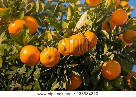 closeup of sunlit satsumas ripening on tree