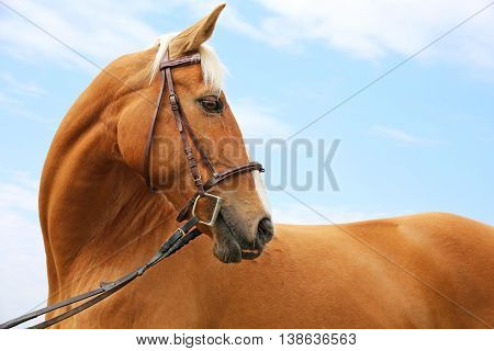 Side view portrait of a reddish-brown colored beautiful purebred stallion