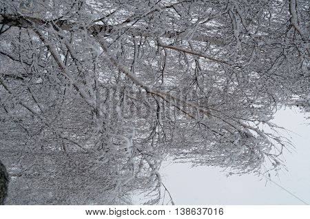 Birch branches covered with snow in winter frosty day
