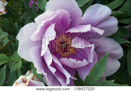Flower peony with large pink petals and yellow stamens on the background of green leaves