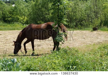 Brown horse grazing on the green grass near hay and sapling