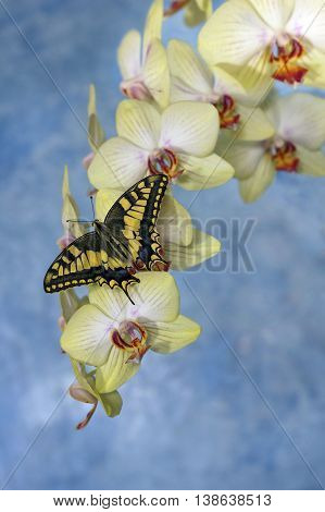 swallowtail butterfly (papilio machaon) on a flower orchid on a bright blue background
