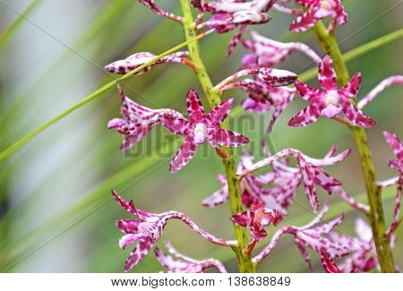 Flowers of the Blotched Hyacinth-Orchid (Dipodium variegatum) in the Royal National Park, Sydney, Australia