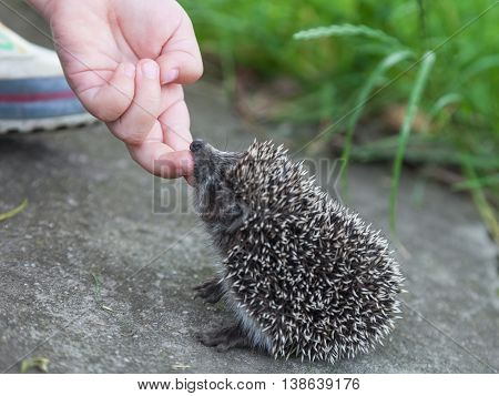 Child hand stroking small hedgehog close-up outdoors